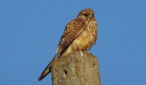 Novosađanin prodavao zaštićenu pticu preko interneta, pa kažnjen sa 50.000