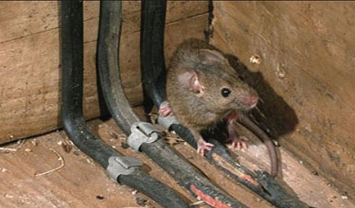 Kikinda: Toplana upozorava stanare da pacovi grizu instalacije