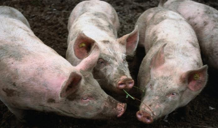 Vakcinacija svinja protiv kuge smanjuje izvoz, a povećava uvoz