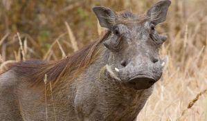 Naučnici snimili jednu od najređih vrsta divljih svinja