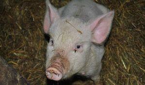 Veterinari: Obavezno proverite meso na trihinelozu