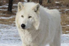 Mladunci polarnog vuka iz Srbije stigli u Kinu