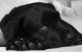 I psi ne mogu da spavaju zbog briga