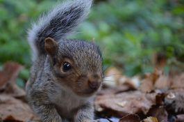 FOTO: Mladuncima veverice repovi se zapetljali u čvor