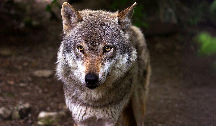 Francuska dozvoljava rast populacije vukova