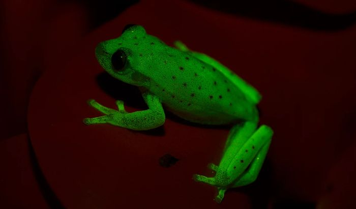 Slučajno otkrivena prva fluorescentna žaba