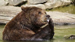 Redak mrki medved uginuo nakon što mu je stavljena radio-kragna