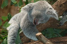 Koale bi mogle da nestanu do 2050. godine