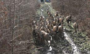 FOTO: U Bosutske šume naseljena 34 jelena