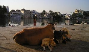 FOTO: Pevanjem iznervirala kravu pa dobila batine