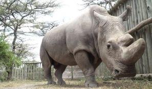 Stručnjaci pokušavaju da spasu belog nosoroga od istrebljenja