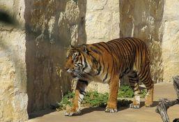Uprkos upozorenju ubili ugroženu vrstu tigra