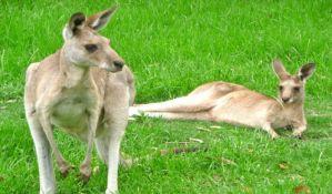 Australija namerava da ubije milion kengura
