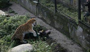 VIDEO: Posetioci zoo vrta spasili radnicu od tigra gađajući ga stolicama i stolovima