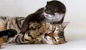 VIDEO: Bengalska maca i vidra najbolji prijatelji