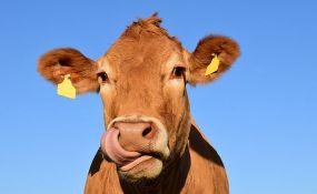 Aktivisti pokušavaju da spasu kravu koja je