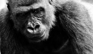Uginula jedna od najstarijih gorila na svetu, ženka Vila