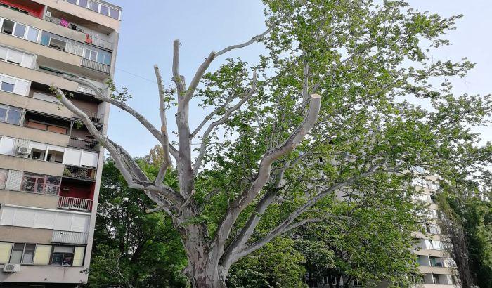 FOTO: Platan u Vojvođanskoj nije posečen, ali je ostao bez grana
