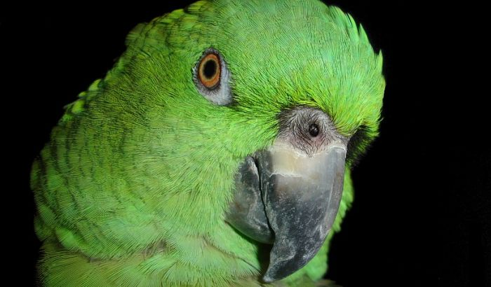 VIDEO: Papagaji narkomani pustoše polja maka