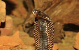 VIDEO: Kobra mirno pila vodu iz čovekove ruke