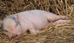 Vršac: Oformljen krizni štab zbog afričke kuge kod svinja