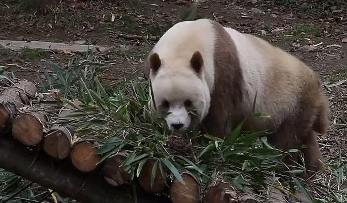 VIDEO: Jedina braon panda na svetu