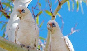 Australija objavila rat malim belim papagajima