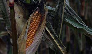 Zbog suše 60 odsto kukuruza manje, šteta 400 miliona evra