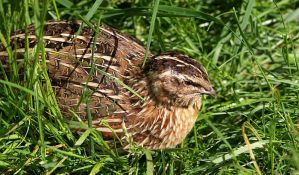 Nezakonit lov prepelica kod Bačkog Jarka