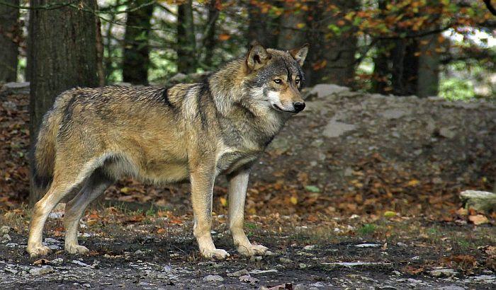 Divlji vuk u Flandriji posle više od 100 godina