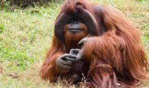 Uginuo jedan od najpametnijih orangutana