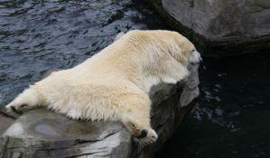 Polarni medvedi sve mršaviji zbog globalnog zagrevanja