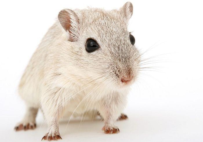 Vakcina protiv raka uklonila tumore iz miševa