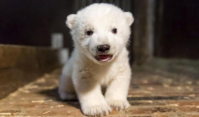 U berlinskom zoo vrtu uginulo mladunče polarnog medveda