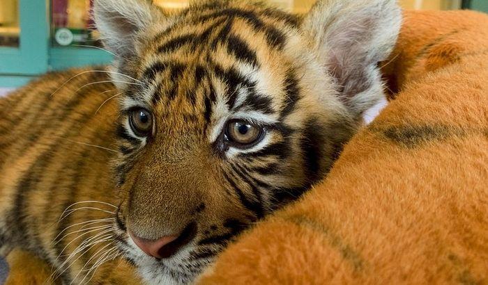 Spaseni izgladneli sibirski tigrići, nedelju dana držani u sanduku