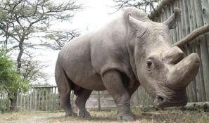 Uginuo poslednji mužjak severnog belog nosoroga