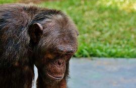 VIDEO: Ljubomorni majmun pretukao čuvara zoo vrta