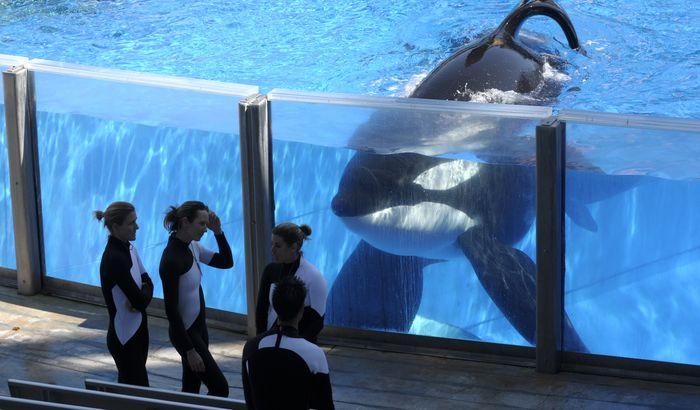Uginuo Tilikum, orka koja je ubila svog trenera