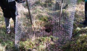 Pet Pančićevih omorika ukradeno u Škotskoj