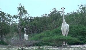 VIDEO: Snimljene izuzetno retke bele žirafe