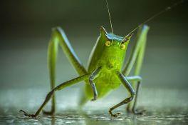 Turistima u Provansi smetaju cvrčci jer su preglasni