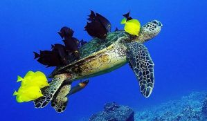 VIDEO: Lekovi za giht i herbicidi u krvi zelenih morskih kornjača