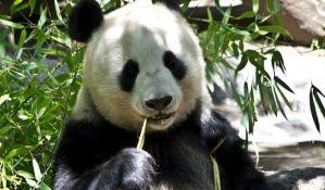 Kina poklonila Finskoj dve džinovske pande, Piri i Lumi
