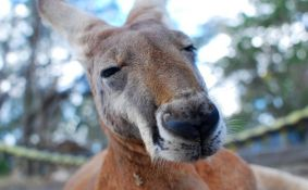 Policajci se potukli sa kengurom