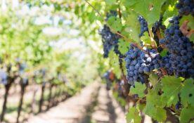 Evropska proizvodnja vina na istorijskom minimumu
