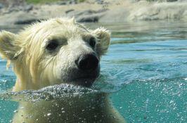 Polarni medved pronađen kako pliva 700 km daleko od Arktika