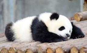 Panda iz frustracije hoda unatraške, žele da je izleče seksom