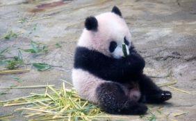 VIDEO: Zoo vrt u Tokiju produžio dnevne posete pandi