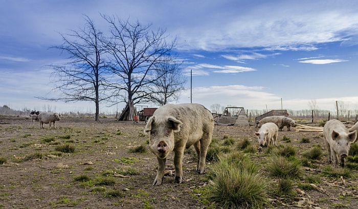 Gde su Tenisove farme svinja u Banatu?