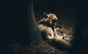 Studija: Životinje se prilagođavaju mraku da bi izbegle ljude